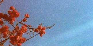 Gloriously grainy blossom burst - Kodak Gold 400 shot at ISO400