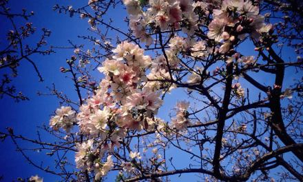 Sakura – Shot on Kodak EKTACHROME 100VS E100VS at EI 100 (120 format)