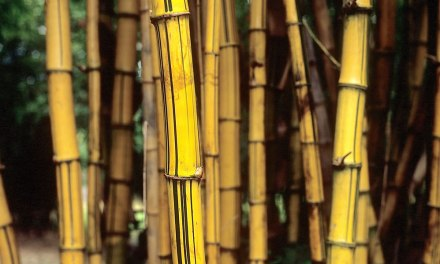 Golden bamboo – Shot on Fuji Veliva 100 RVP100 at EI 200 (120 format)