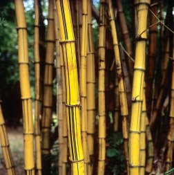 Golden bamboo - Fuji Veliva 100 (RVP100). 120 format shot at 6x6, push processed 1-stop