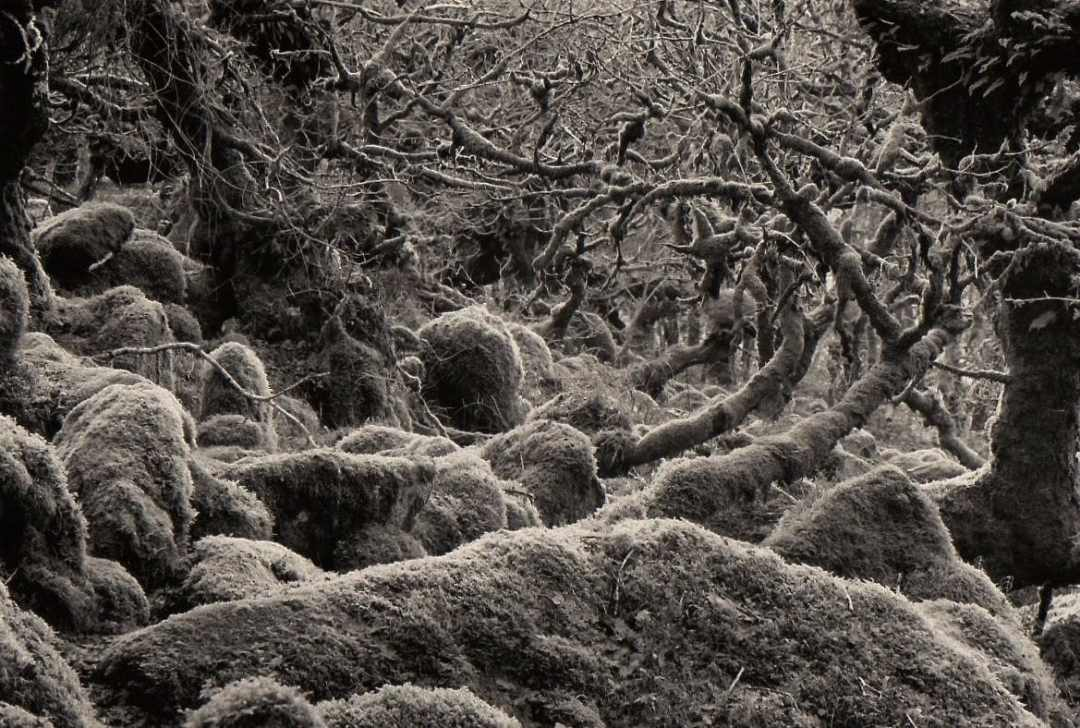 Wistmans Wood - 105mm lens, Ilford FP4.
