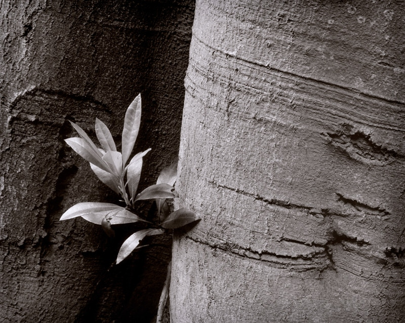 Beech & rhododendron - Mamiya C330S, Ilford FP4