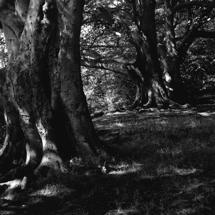 Three Big Trees: Mamiya C330s, 80mm, f22 at 1/30s on Ilford Pan F
