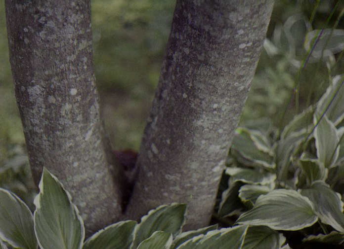Modern Trichrome - Maple Tree and Hosta - John Nanian