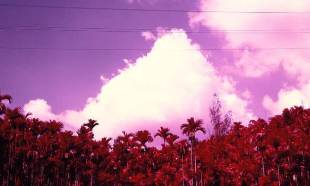 Palm Grove – Shot on Kodak AEROCHROME III 1443 (120)