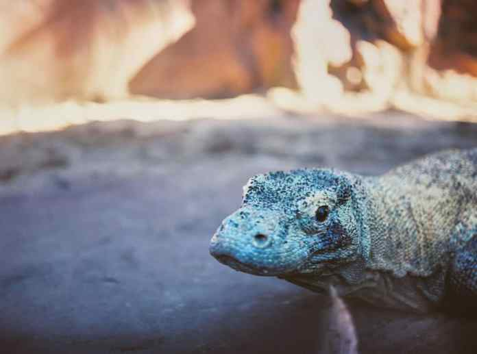 Komodo Dragon - Australia Zoo