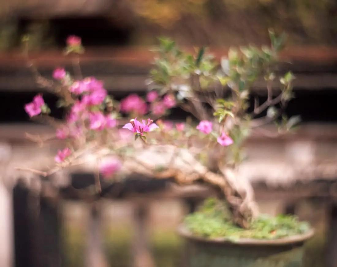 "Bougainvillea bonsai - Fuji Provia 100F (RDP III) shot at EI 100. Color reversal (slide) film in 4x5 format. Kodak Aero Ektar 7"" (178mm) f/2.5 - Graflex Pacemaker Speed Graphic."
