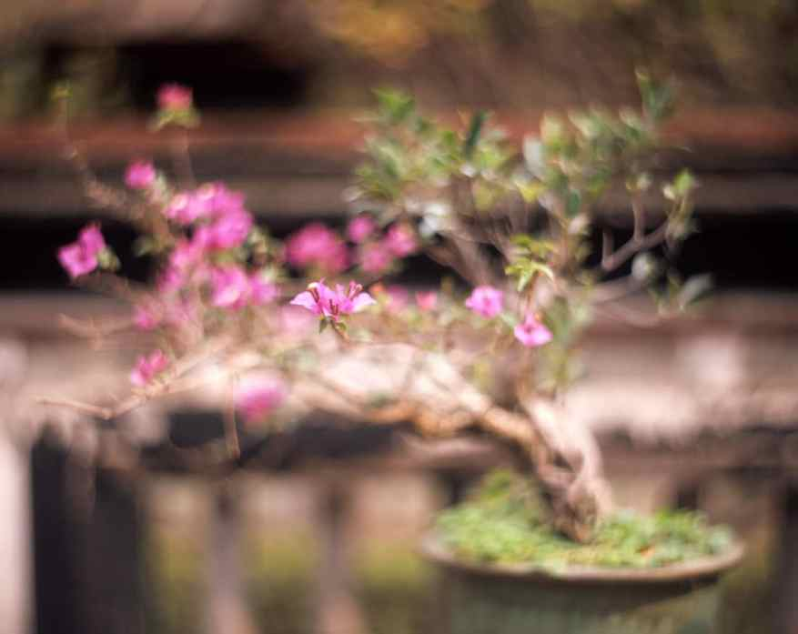"Bougainvillea bonsai - Fuji Provia 100F (RDP III) shot at EI 100. Color reversal (slide) film in 4x5 format. Kodak Aero Ektar 7"" (178mm) f/2.5 - Graflex Pacemaker Speed Graphic."