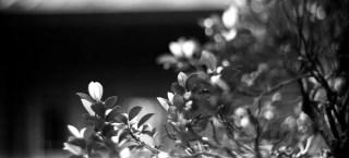 "Spring growth - Ilford Pan F+ shot at EI 32. Black and white negative film in 120 format shot as 6x12. Kodak Aero Ektar 7"" (178mm) f/2.5 - Graflex Pacemaker Speed Graphic."
