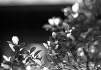 "Spring growth - Ilford Pan F+ shot at EI 32. Black and white negative film in 120 format shot as 6x12. Kodak Aero Ektar 7"" (178mm) f/2.5 - Graflex Pacemaker Speed Graphic."