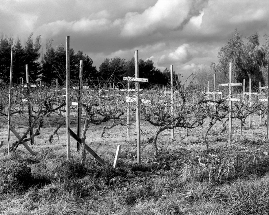 Grapes - In 2014 we lost 2 greenhouses to an ice storm, exposing our little vinyard to the elements, putting the vines at risk of death in the cold of winter. Mamiya RB67, ILFORD FP4+