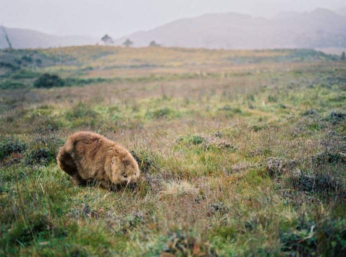 Tasmania Travelogue - A wombat spotted while hiking in Cradle Mountain National Park.