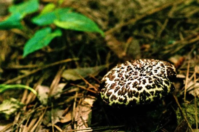 Mushroom Old Man of the Woods