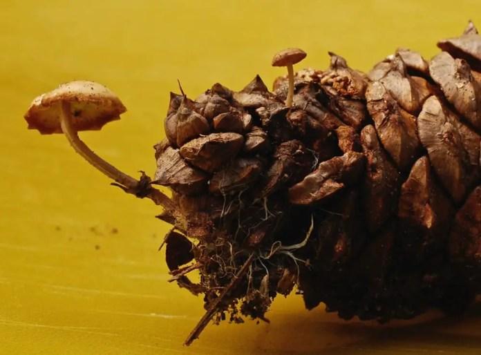 Pinecone with mushroom