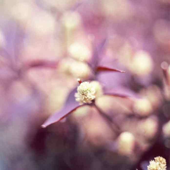 Spring buds #02 - Shot on Fuji Provia 400X (RXP) at EI 800. Color reversal (slide) film in 120 format shot as 6x6. Hasselblad 32E. 1-stop push.