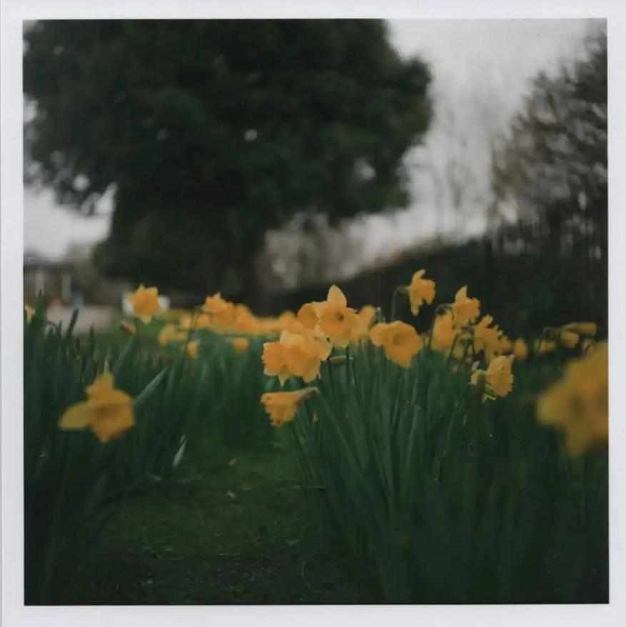 Yashica D - Daffodils