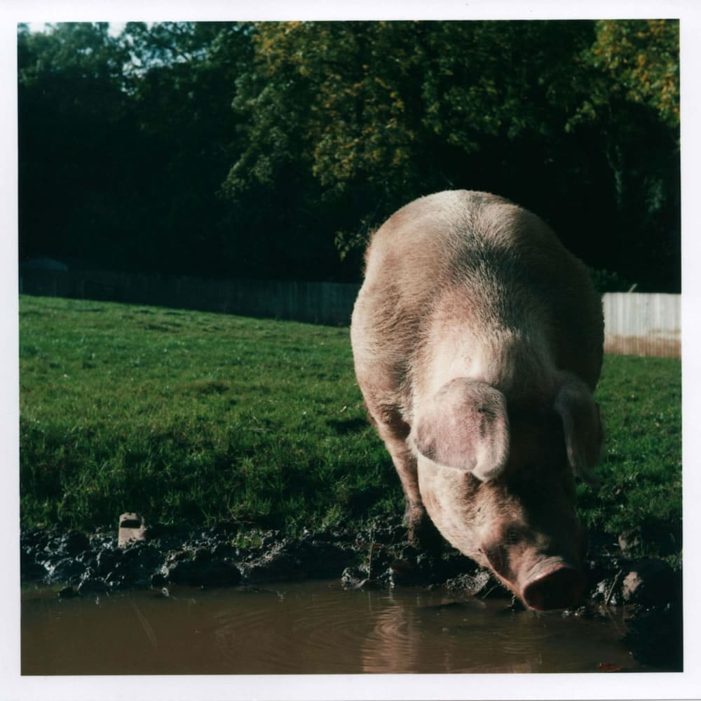 Yashica D - Pig