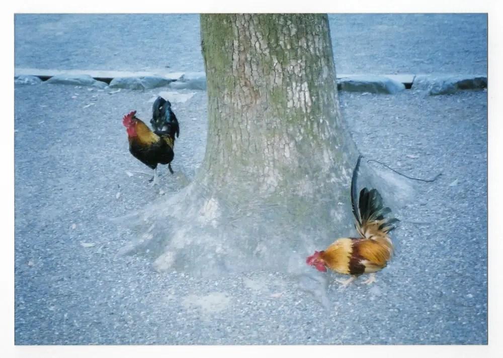 Roosters, Nagoya 2001 - Fujifilm