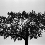 Tree of life - Shot on FILM Ferrania P30 Alpha at EI 40. Black and white negative film in 35mm format. Over exposed one stop.