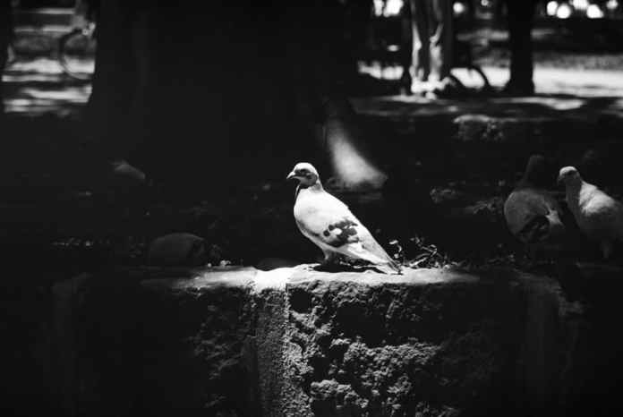 King Pidgey - Shot on FILM Ferrania FERRANIA P30 Alpha at EI 80. Black and white negative film in 35mm format. Reversal developed.
