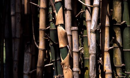 Bamboo grove #01 – Shot on Fuji Provia 100F RDP III at EI 100 (120 format)