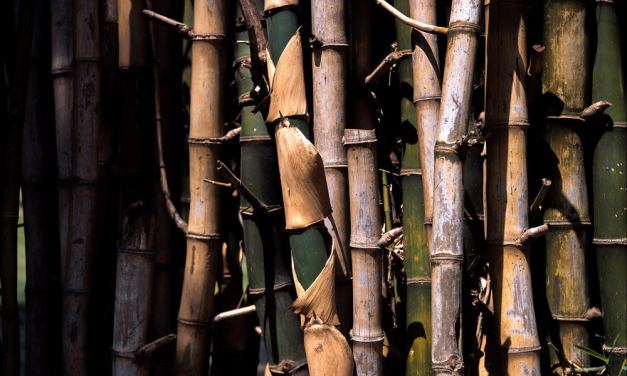 Bamboo grove #01 – Shot on Fuji Provia 100F – RDP III (120)