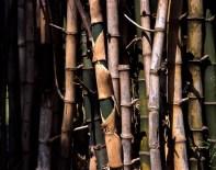 Bamboo grove #01 - Shot on Fuji Provia 100F (RDP III) at EI 100. Color reversal (slide) film at in 4x5 format. AEROgraphic/ Kodak Anastigmat 161mm f/4.5.