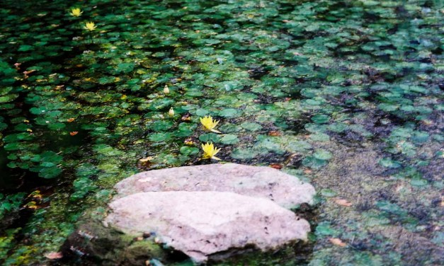 Rippled leaves – Shot on Kodak Ektar 100 at EI 200 (120)