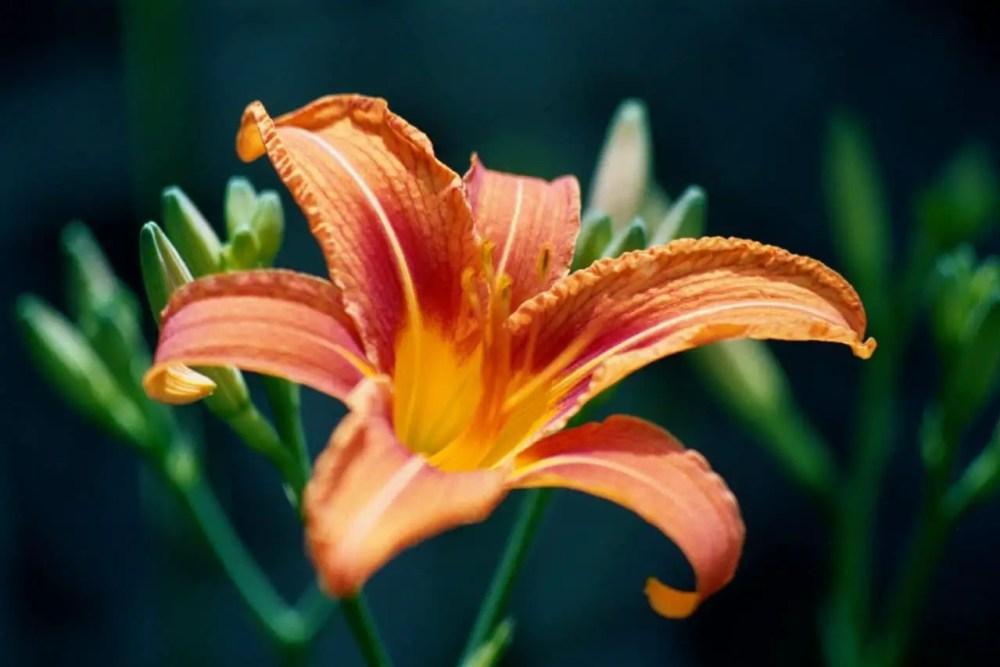 Red And Orange Flower, Kodak Gold 35mm, ISO 400, Canon AE-1, 50mm Lens, Stamford, NY