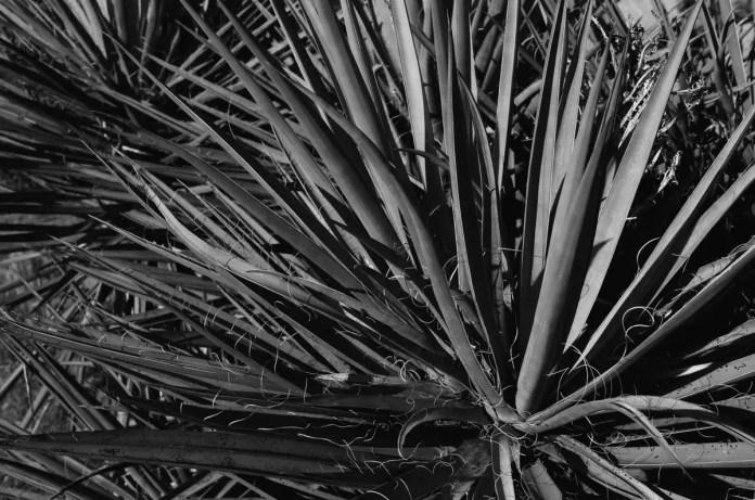 Yucca - Kodak T-MAX 100 (-)