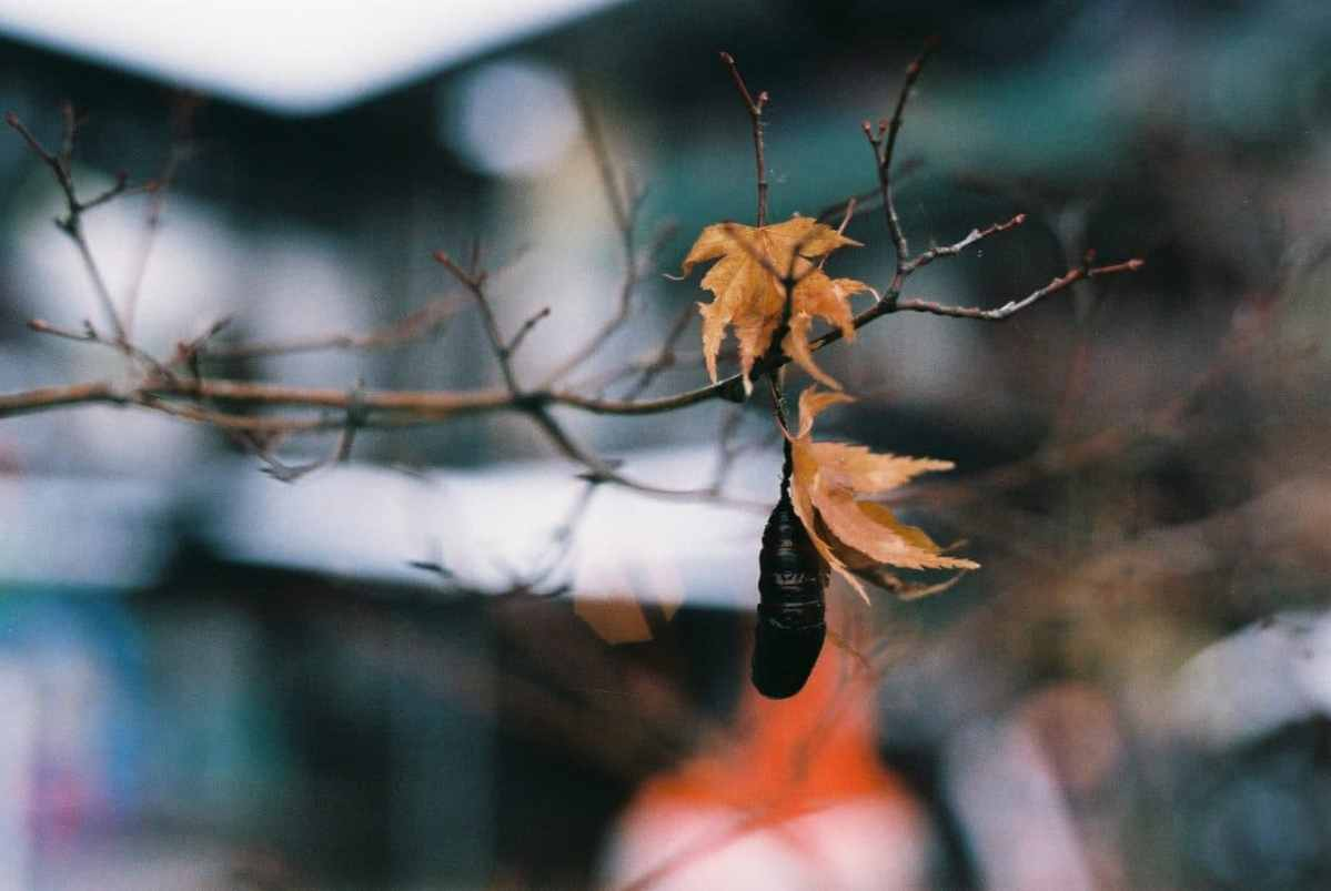 Chrysalised - Shot on Fuji Superia Premium 400 at EI 400 (35mm format)