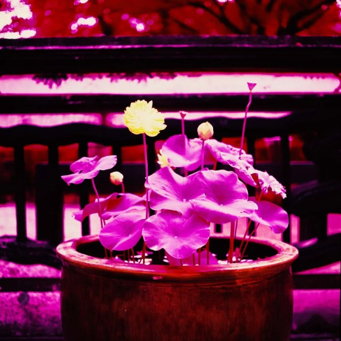 Full bloom - Shot on Kodak AEROCHROME III 1443 at EI 400. Color infrared aerial surveillance film in 120 format shot as 6×6. Shot with #21 orange filter.