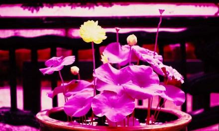 Full bloom – Shot on Kodak AEROCHROME III 1443at EI 400 (120 format)