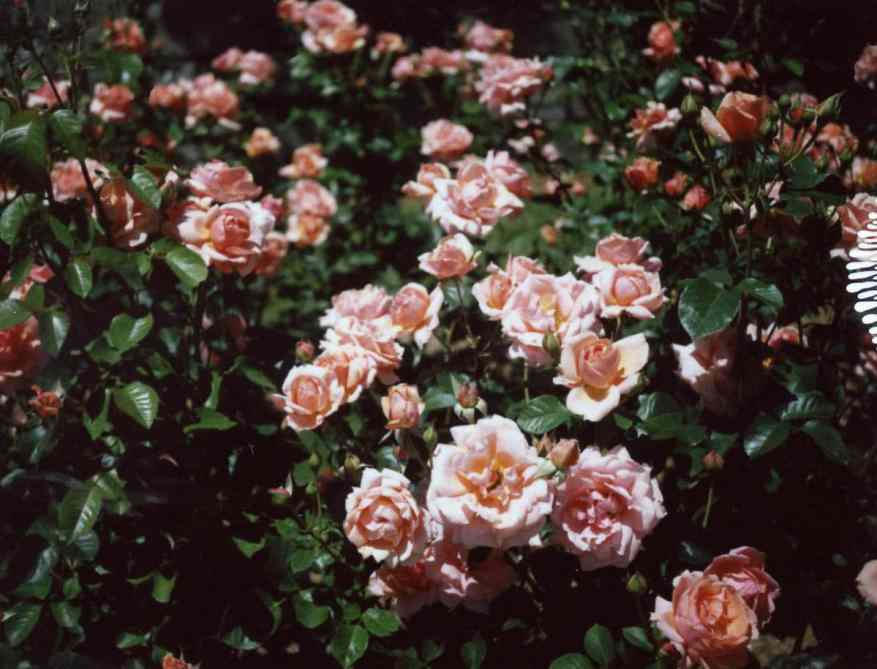 Summer Roses - Polaroid 230 Land Camera and FP-100C