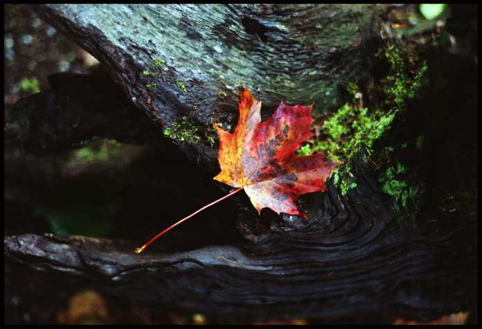 Autumn leaf - Pentax MX, 50mm - Fujifilm Superia 200