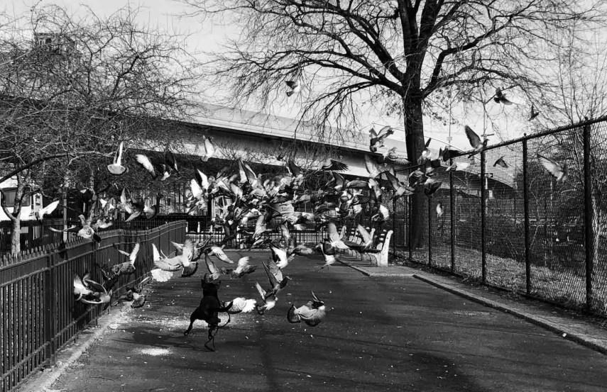 Tuk chases pigeons. Brooklyn, New York