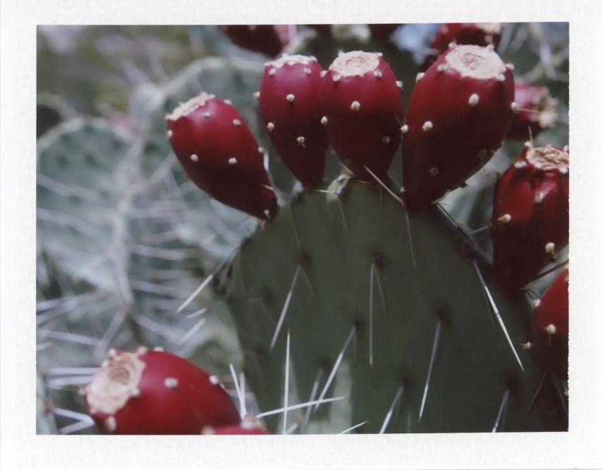 Flowers on a barrel cactus, Fujifilm FP-100c with #581 Portrait Kit