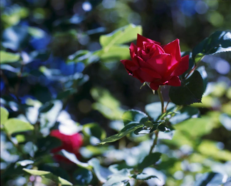 Roses in my garden (Savoie)