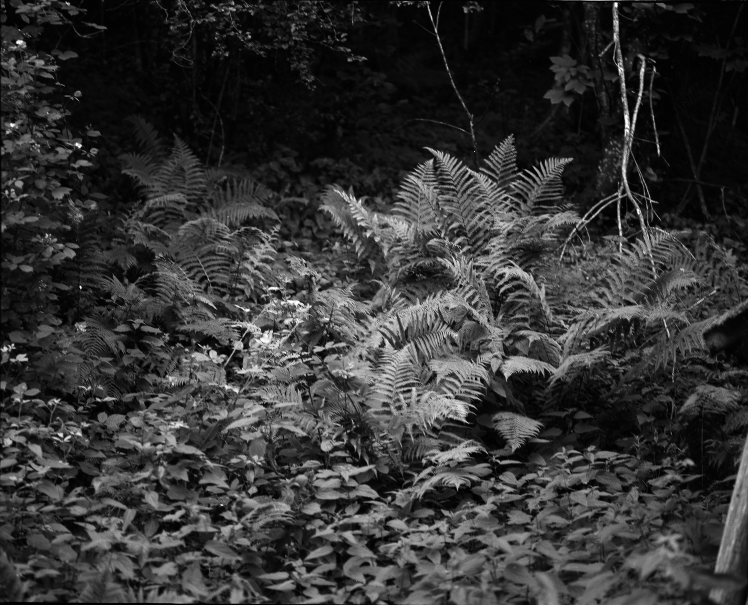 Small clearing in the woods, where ferns grow (Savoie)