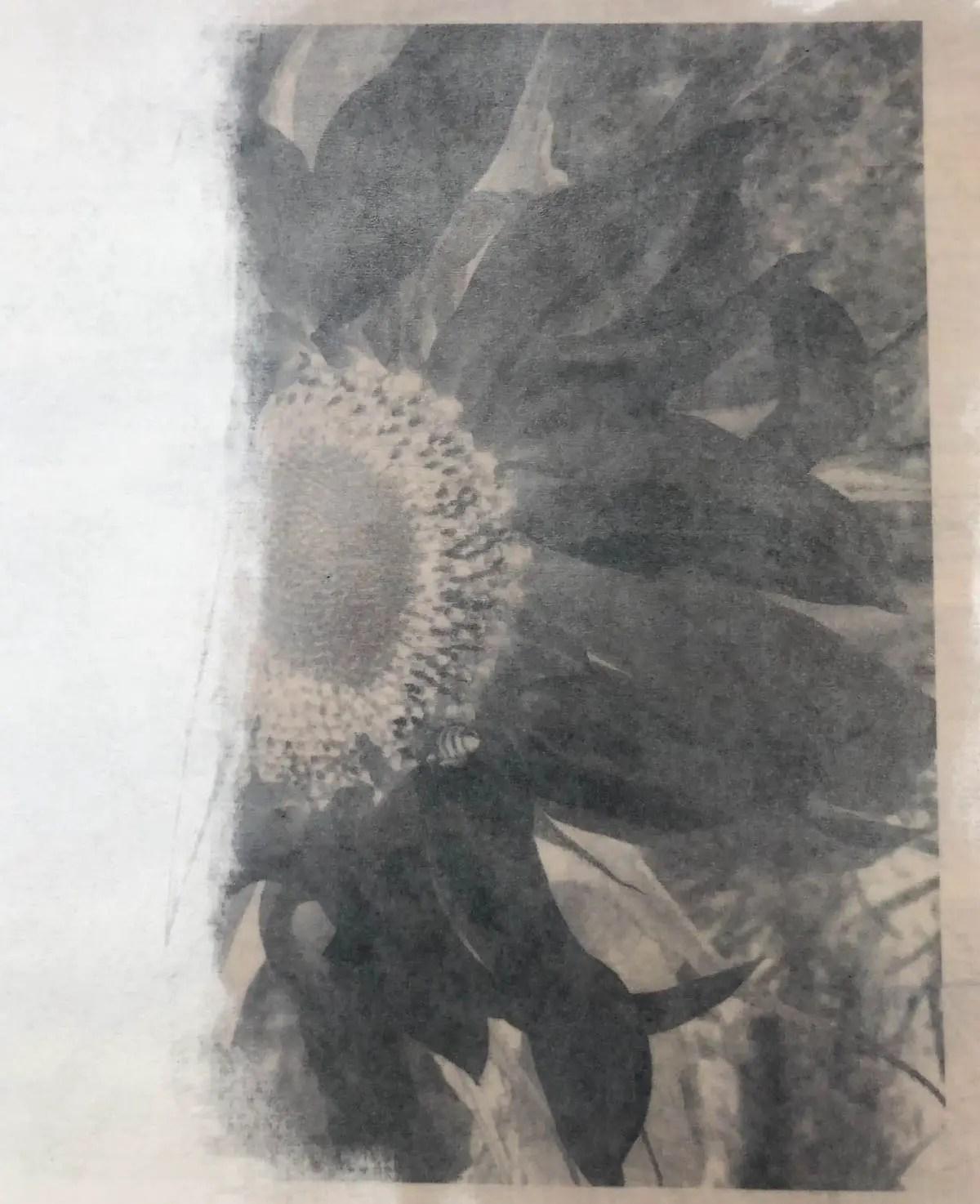 Susan Phillips - Sunflower