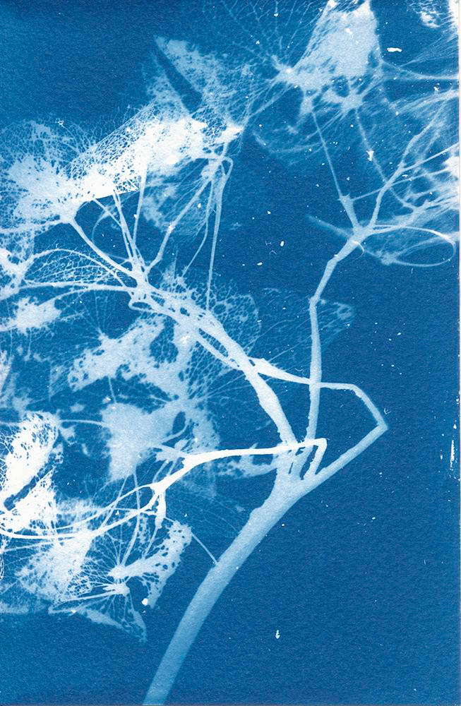 Dried Hydrandea (No Glass) - 5 Frames... With a Liquid Cyanotype Kit on Fluid Cold Press Finish Watercolor Paper - by Monika