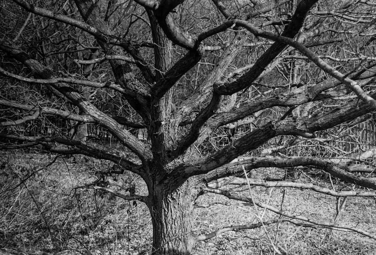 Branching out - ILFORD HP5 PLUS, Minolta SRT 101b, MD Rokkor 50mm f/1.7 - Nigel Fishwick