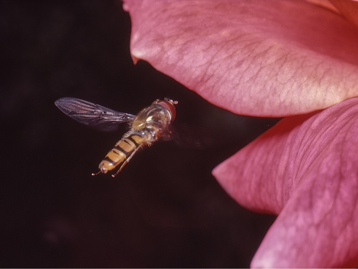 Hoverfly, Minolta XE-1, Kodachrome, electronic flash