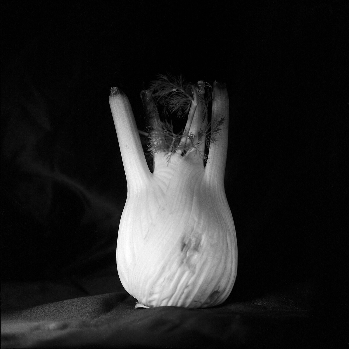 Fennel – Still Life Photography - Yashica MAT-124 with Fomapan 200 Creative
