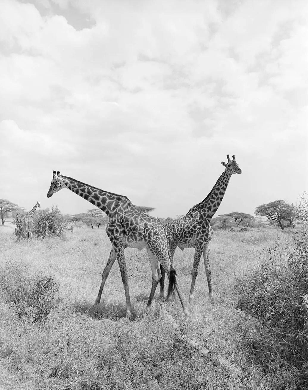Giraffes, Tarangire, Tanzania - ILFORD HP5 PLUS in Pyro PMK. Pentax 67II 135mm