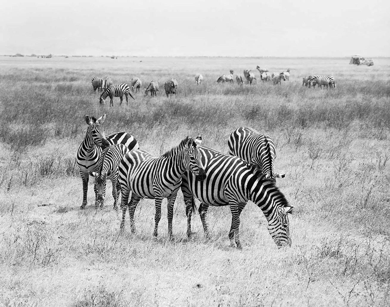 Zebras, Ngorongoro, Tanzania - ILFORD HP5 PLUS in Pyro PMK. Pentax 67II 135mm