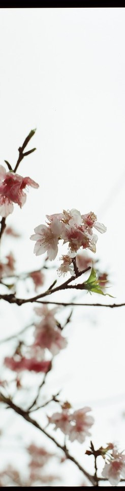 Sakura wide - Kodak 250D (VISION3 5207) shot at EI 250. Color motion picture film in 35mm format.
