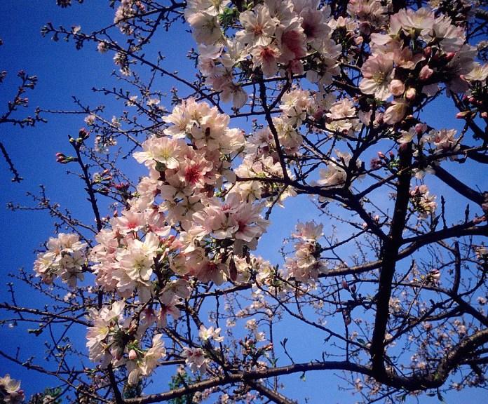 Sakura - Shot on Kodak EKTACHROME 100VS (E100VS) at EI 100. Color slide film in 35mm format.