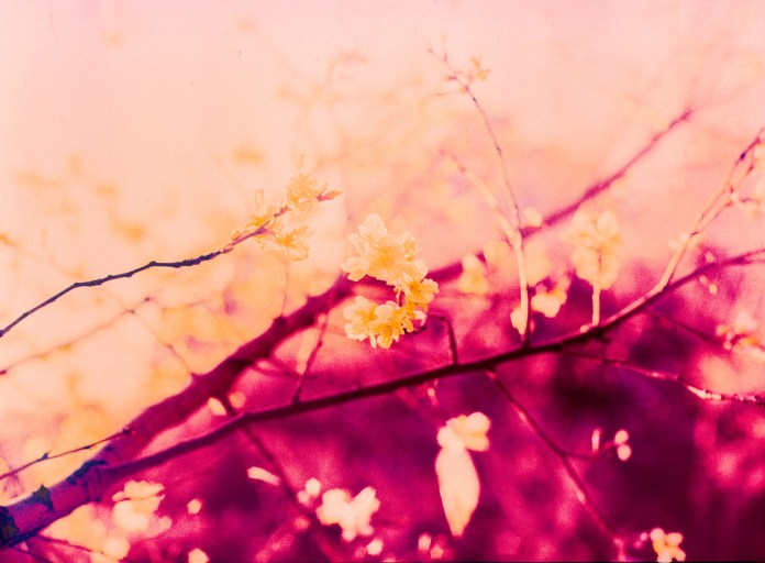 Blossom blaze - Shot on Kodak AEROCHROME III Infrared Film 1443at EI 200. Color infrared aerial surveillance film in 120 format shot as 6x6. Overexposed one stop with #21 orange filter
