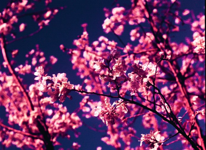 Inflorescence - Shot on Kodak AEROCHROME III 1443 at EI 200. Color infrared aerial surveillance film in 120 format shot as 6x4.5. Overexposed one stop with #21 orange filter.